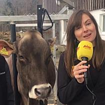 Antenne Vorarlberg zahlt Kuh von Alexander Bechter aus Hittisau