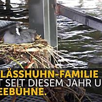Blässhuhn-Familie nistet unter der Seebühne