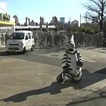 Tokioter Zoo probt den Ernstfall: Was tun beim Ausbruch eines Zebras?