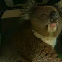 """Koala """"per Anhalter"""" unterwegs mit dem Auto in Australien."""