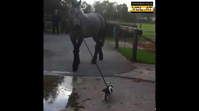 Hund führt Pferd Gassi