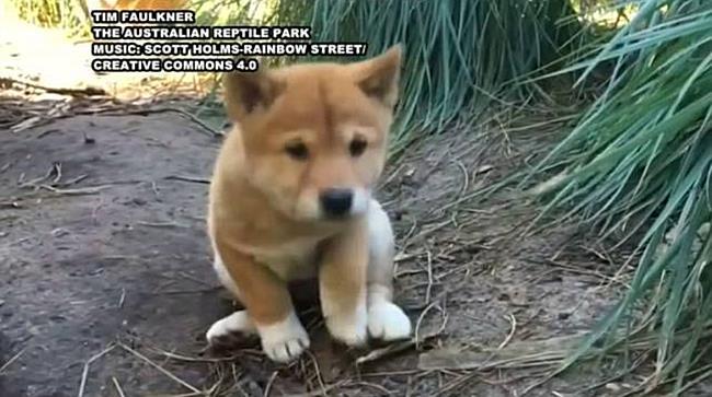 Dingo-Welpen erkunden die Welt