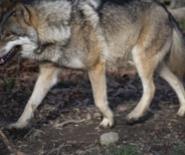Wolfsichtung in Dornbirn