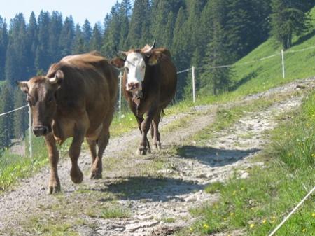 Kühe auf der Alpe Mörzel