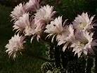 Nur einige Stunden kann man diese Blüten bewundern