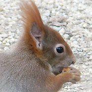 Eichhörnchen in Schönbrunn
