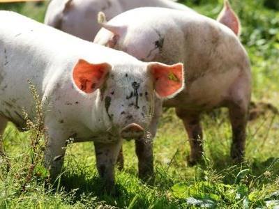 Alpschweine auf der Alpe Brongen