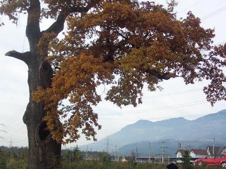 Eiche in Ludesch ist ein beliebtes Wahrzeichen