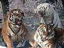 Tiger sind vom Aussterben bedroht