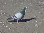 Rund um die inatura haben sich kürzlich wieder neue Tauben angesiedelt.