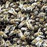 Bienen können sehr gefährlich werden