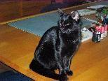Diese schwarze Katze wird in Lochau vermisst.