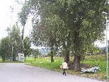 Angeknackste Äste bei den Weiden beim Tennisstüble in Haselstauden stellen eine Gefahr für Fußgänger und Radfahrer dar.