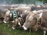 Rund 700 Stück Vieh kehrten von den Alpen heim.