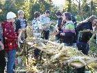 Schüler der VMS Höchst ernten am Alten Rhein den selbst gepflanzten Mais.