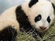 Panda-Baby Fu Hu zeigte sich von seiner Taufe unbeeindruckt.