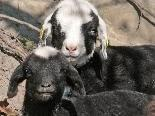 Bei den Schafen im Naturpark hat sich Nachwuchs eingestellt.