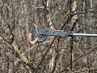 Da staunten die seeputzenden Schützen nicht schlecht, ein Gebiss befand sich im Gebüsch!