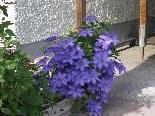Diese Clematis ist genügsam, Balkonpflanzen freuen sich über die besondere Blumenerde der Gemeinde Hard.