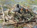 Blässhuhn mit Nachwuchs im Naturpark am Alten Rhein in Höchst