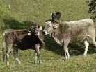 """""""Es ist nachweisbar, dass Kühe erkrankt sind, nachdem sie kotverunreinigtes Gras gefressen haben"""", informiert die Gemeinde Bartholomäberg. SYMBOLFOTO"""