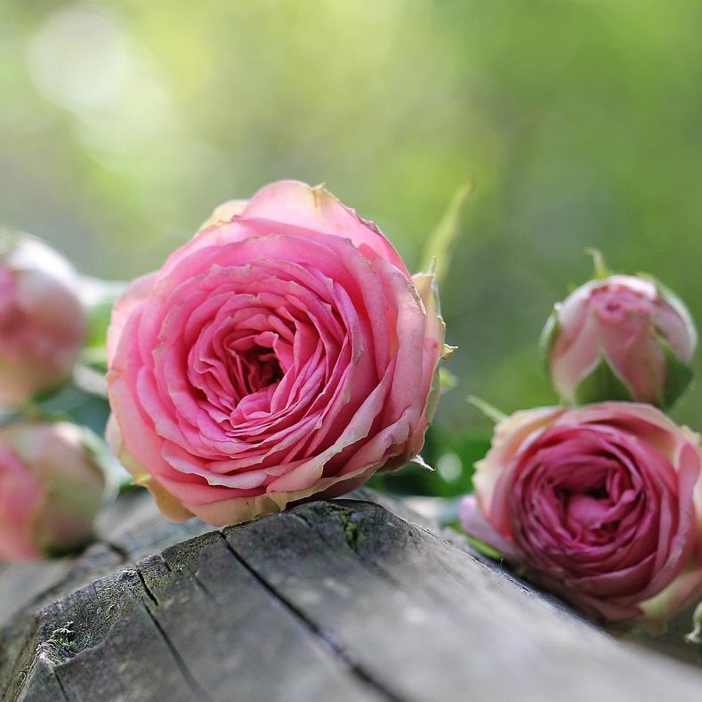 Tipps und Tricks zur Rosenpflege