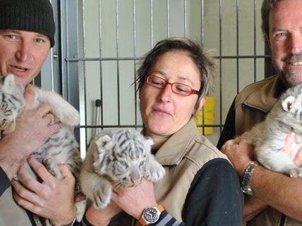 Tiger-Babys müssen vor Gericht