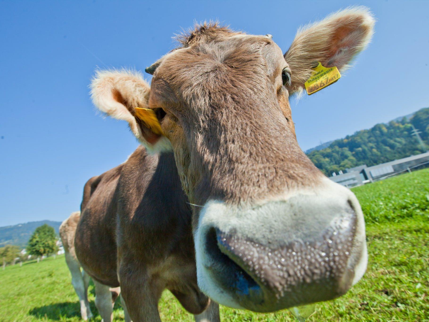 Vorarlberg ist das einzige Land in Österreich, das eine eigene Kuhprämie vergibt