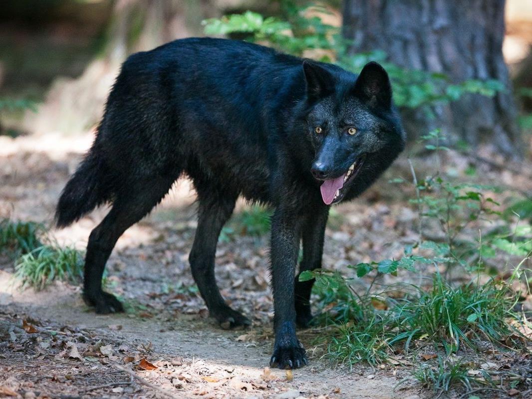 Neue Attraktion Timberwolf im Wildpark