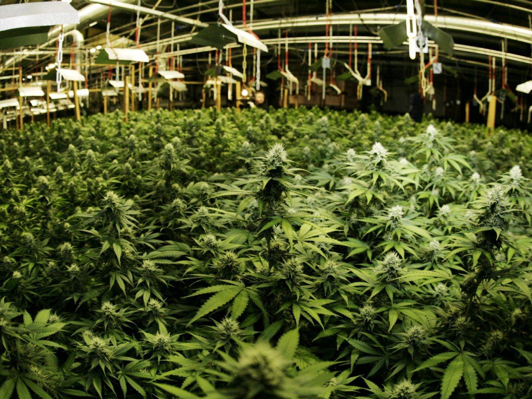 Mehr als 200 Pflanzen wurden sichergestellt.