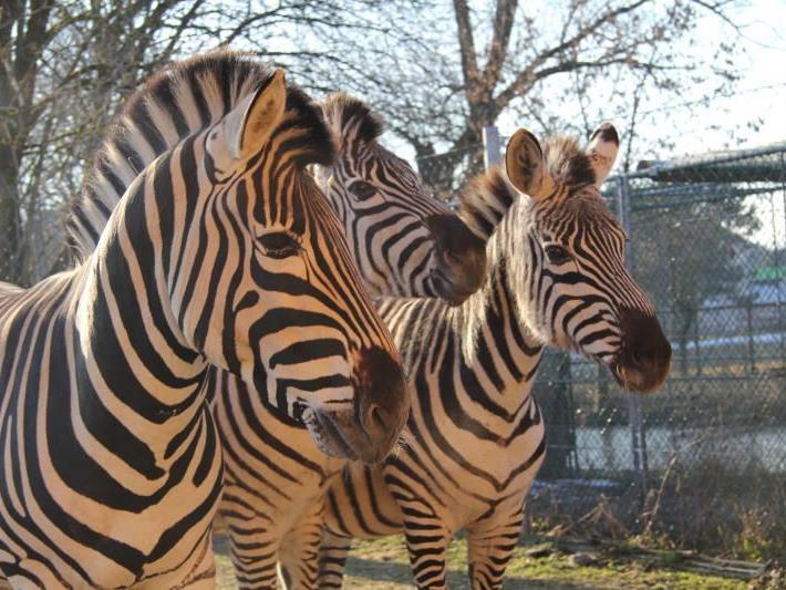 Die drei Zebras im Doppelmayr Zoo sind die derzeitigen Temperaturen gewöhnt.