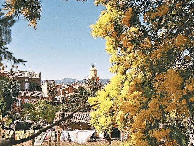 Von Mimosen gerahmt– der imposante Blick auf die Altstadt von Saint-Tropez