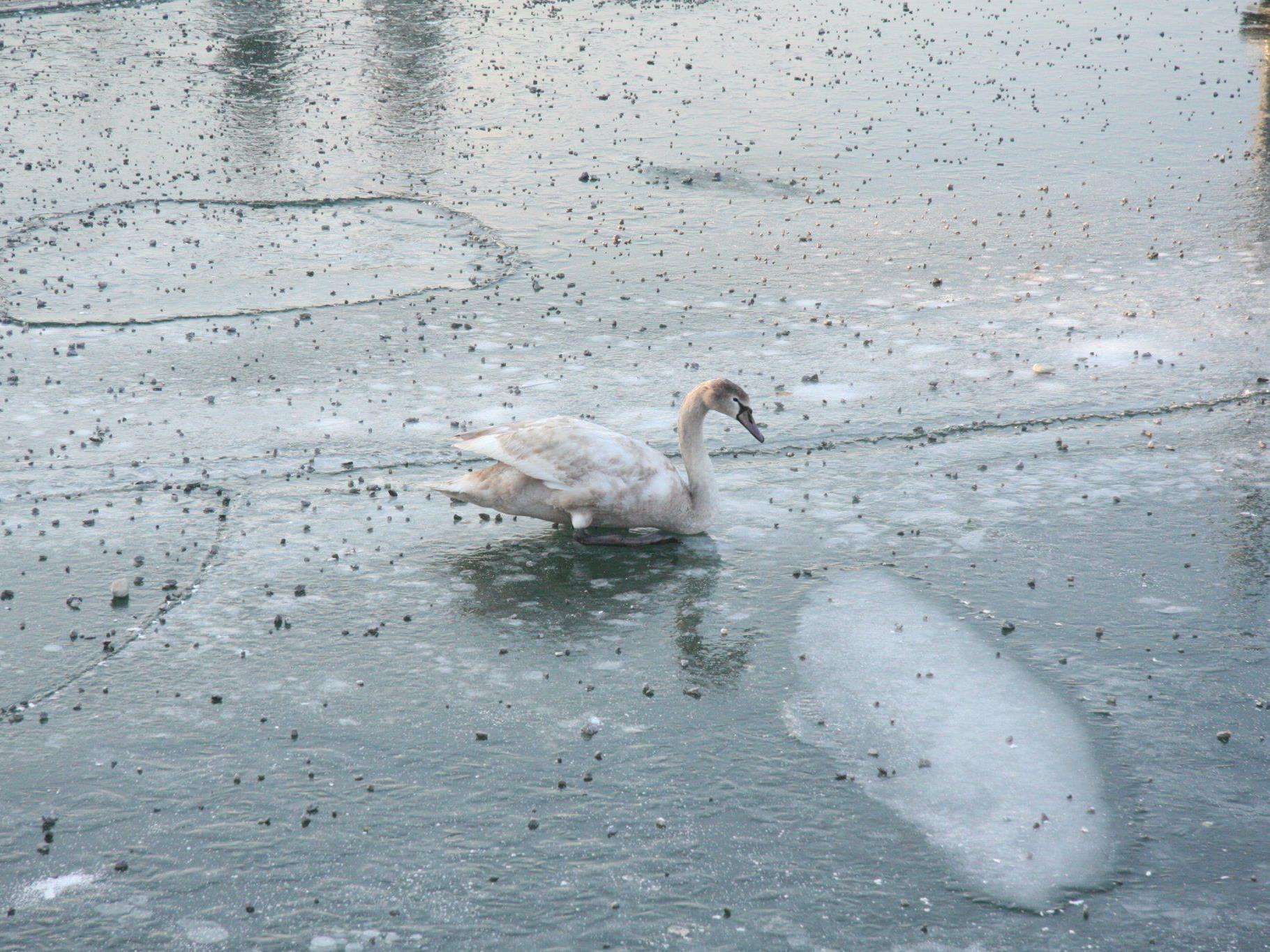 Das Jungtier konnte sich aus eigener Kraft vom Eis befreien und wurde anschließend mit Brot gestärkt.