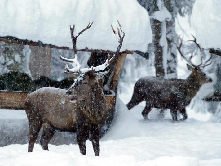 Das Wild muss im tiefen Schnee wohl gefüttert werden, frieren tun die Tiere nicht.