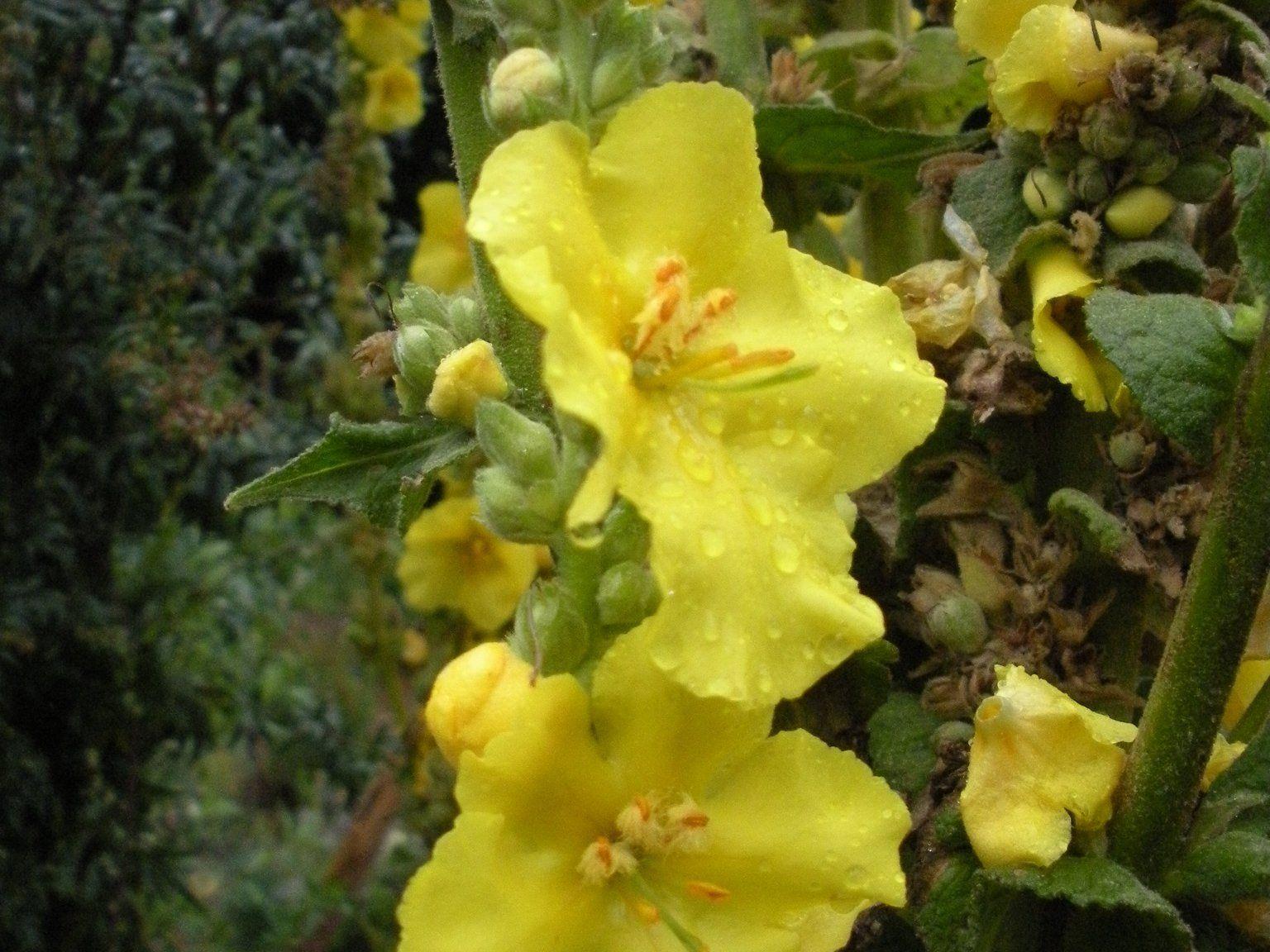 Die Königskerze ist eine sehr bedeutende Pflanze - nicht nur für Frauen.