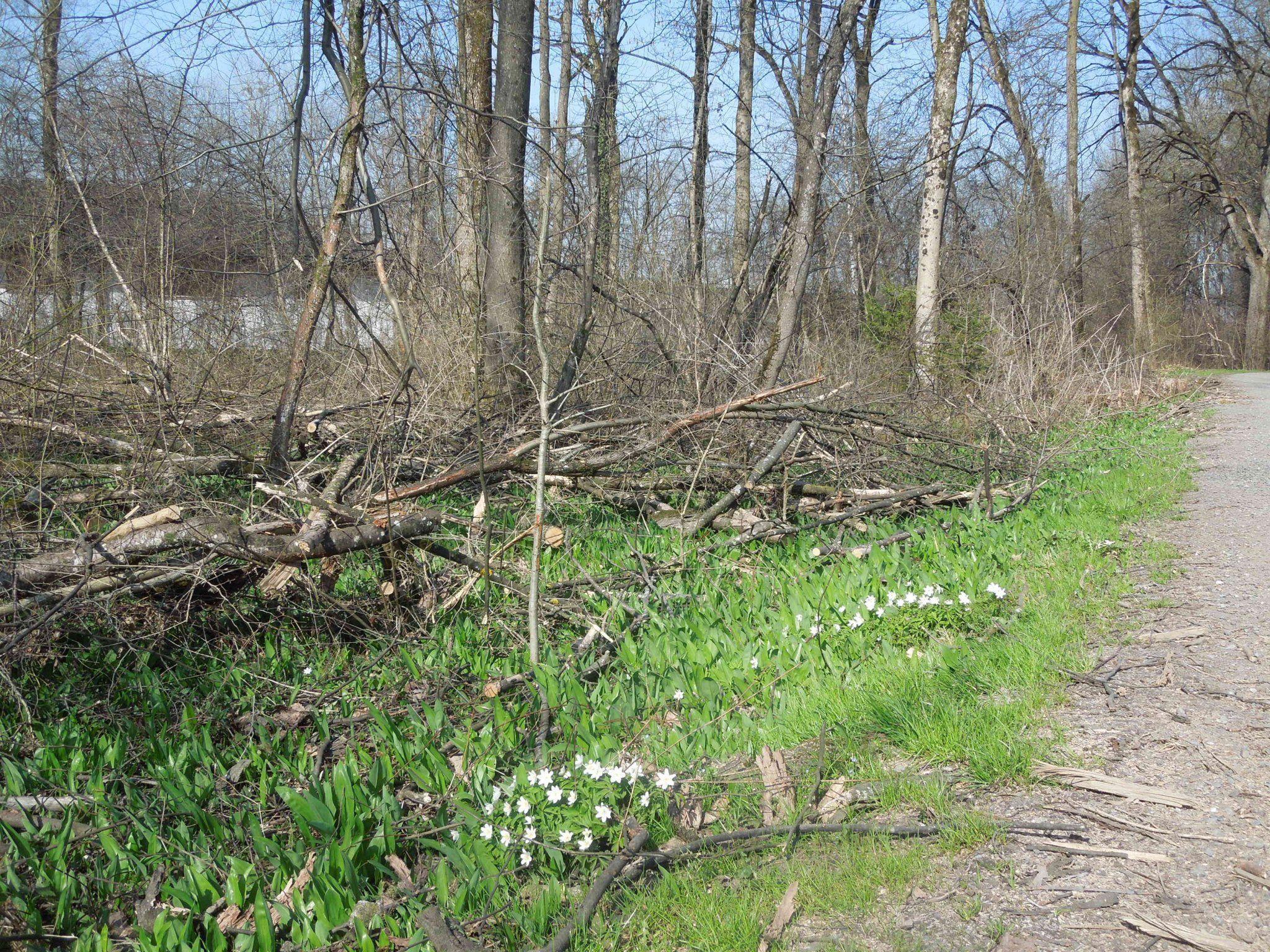 Die Achauen sollen sich natürlich regulieren, ohne dass der Wald aufgeforstet wird.