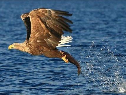 Seeadler sind selten und stehen unter Naturschutz.