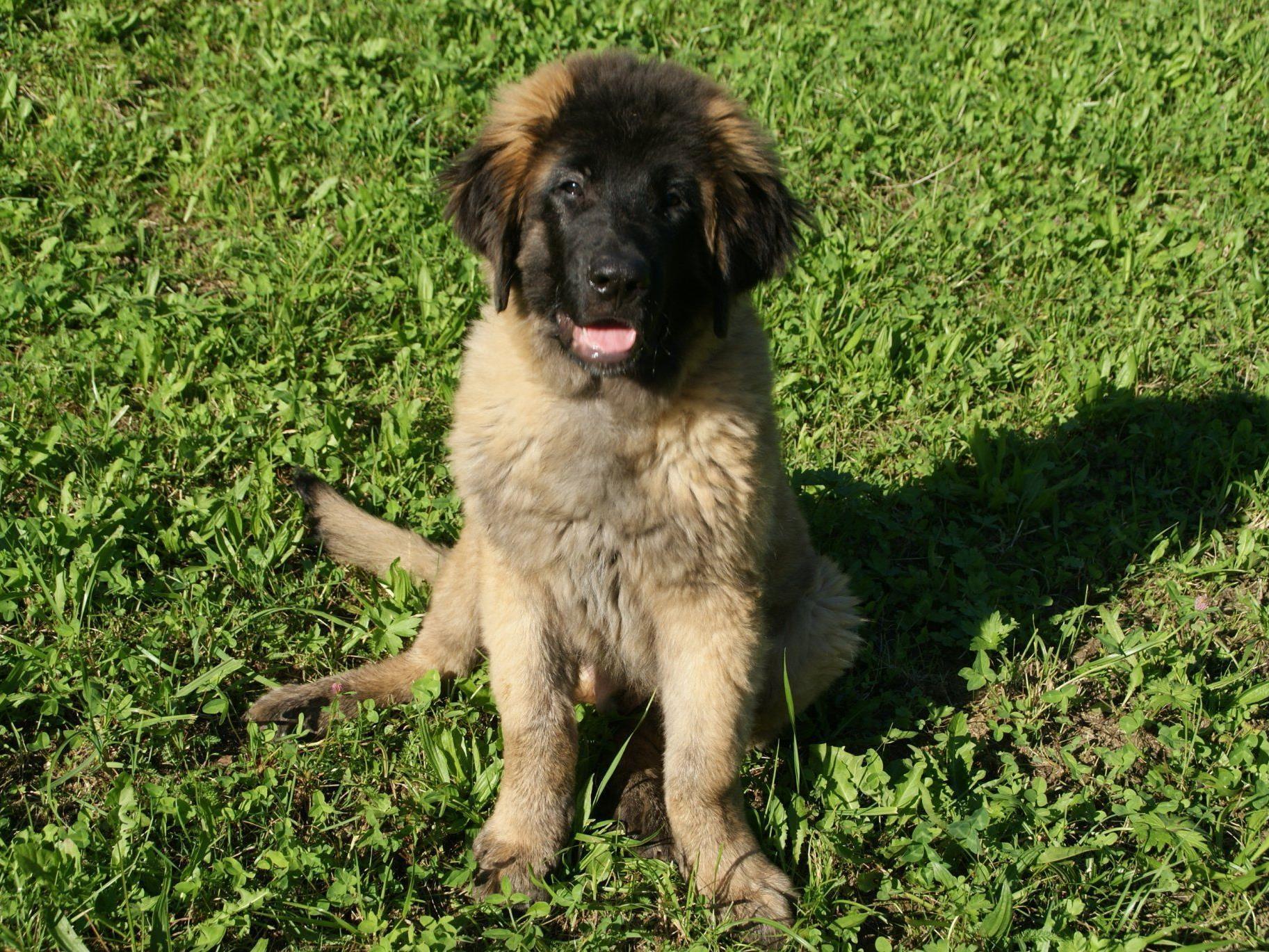 """Auch Leonberger """"Hunter"""" darf beim Hundekurs mitmachen"""