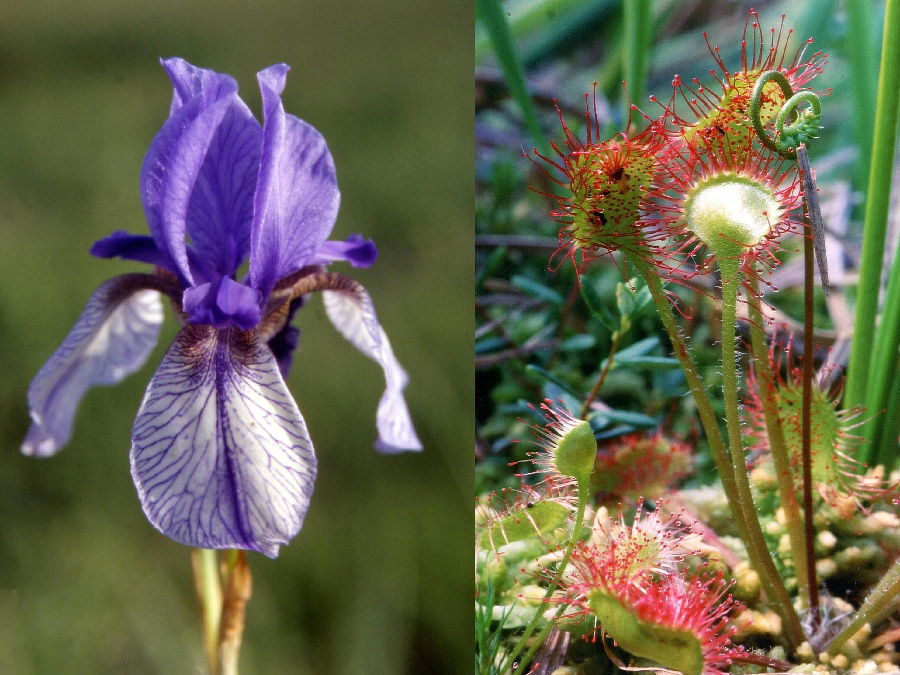 Sibirische Schwertlilie und Rundblättriger Sonnentau - zwei seltene Pflanzenarten der Götzner Moorgebiete