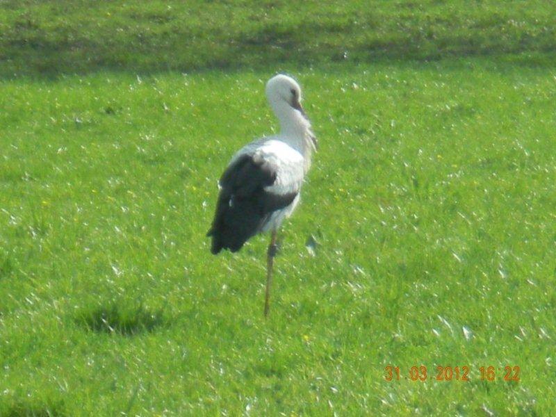 Storch auf Wiese gesichtet.