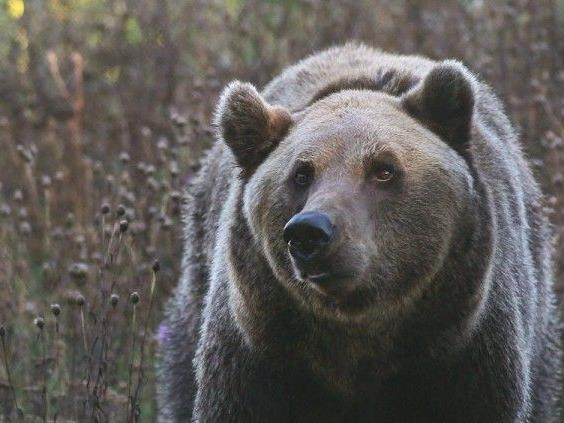 Braunbären im Anmarsch auf Vorarlberg?