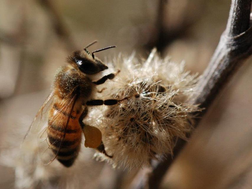Die Faszinierende Biene wird Thema des interessanten Vortrags sein