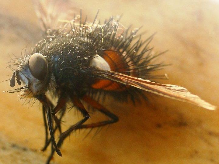 Von den 52 Fleischfliegenarten, die in der Schweiz vorkommen, eigenen sich vier Arten für die Bestimmung des Todeszeitpunktes.