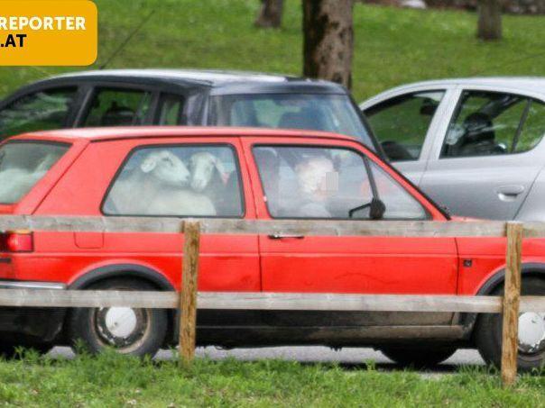 Ein Leserreporter fotografierte in Feldkirch-Tosters diesen skurrilen Schaf-Transport in einem VW-Golf 2.
