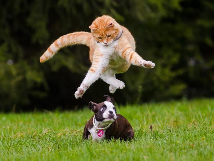 Freunde für's Leben: Kater Bruno und Boston-Terrier-Welpe Angie