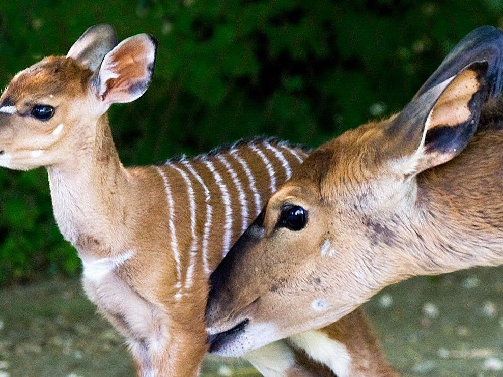 Im Tiergarten Schönbrunn kam das Nyala-Weibchen Amanda auf die Welt.