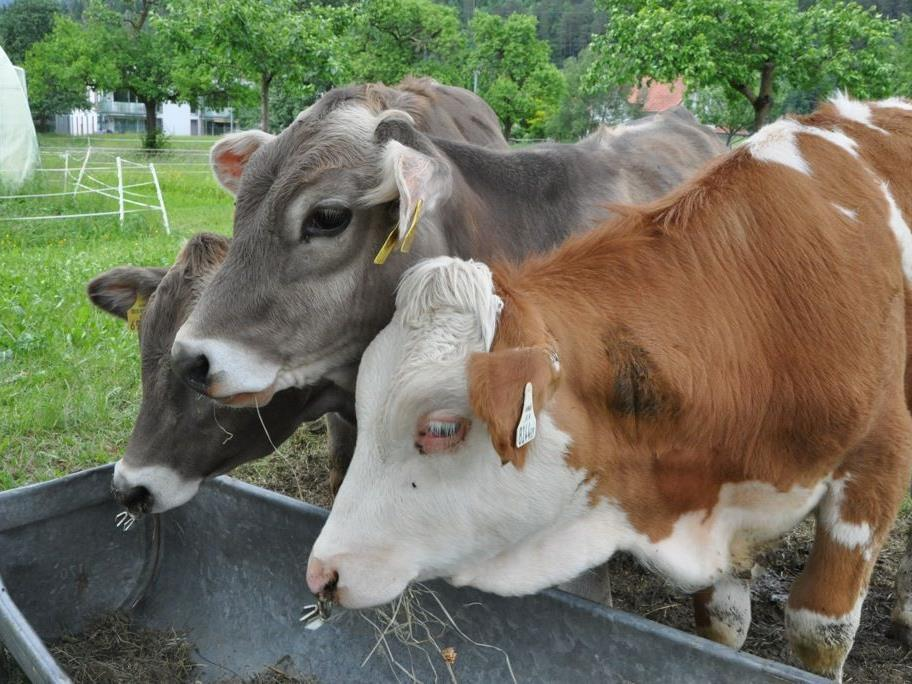 Kühe lassen sich nicht nur das frische Gras schmecken.