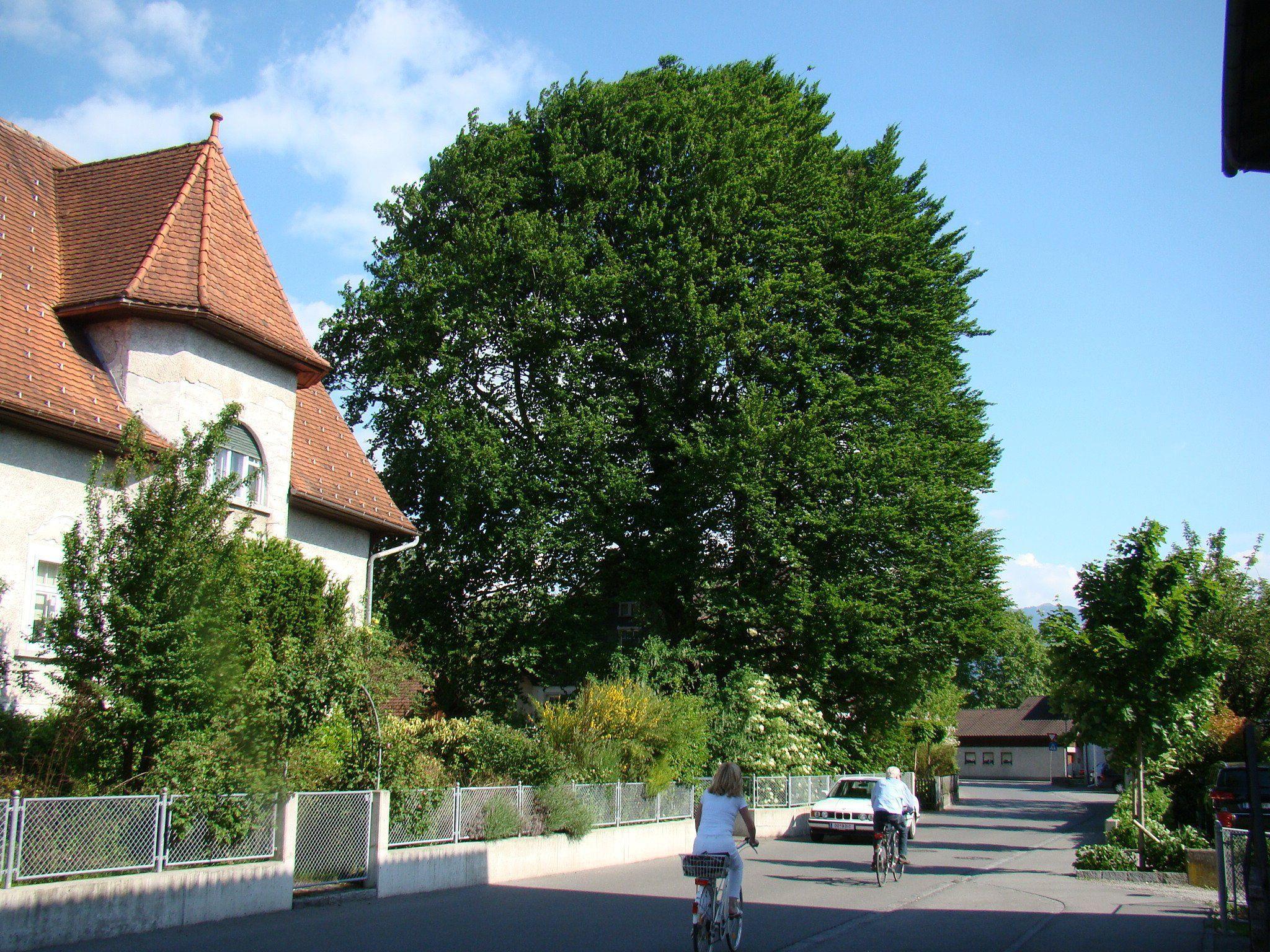 Beim Haus Steinackerstraße 3 wird der ortsbildprägende Baum von vielen Leuten bestaunt.