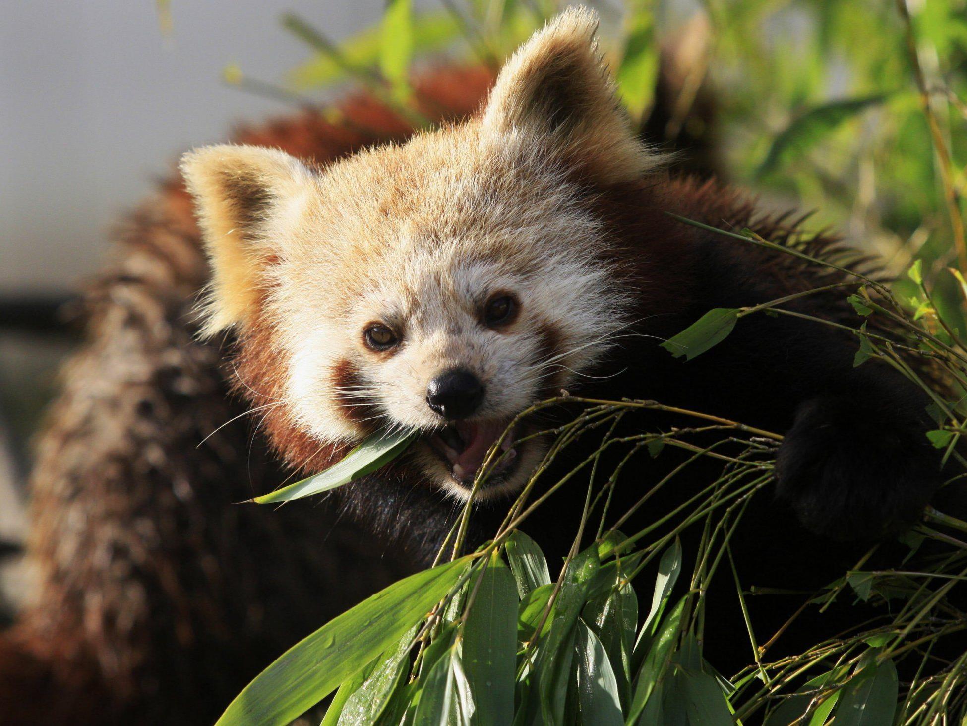 """Der """"Kleine"""" oder """"Rote"""" Panda frisst auch gerne Bambus."""
