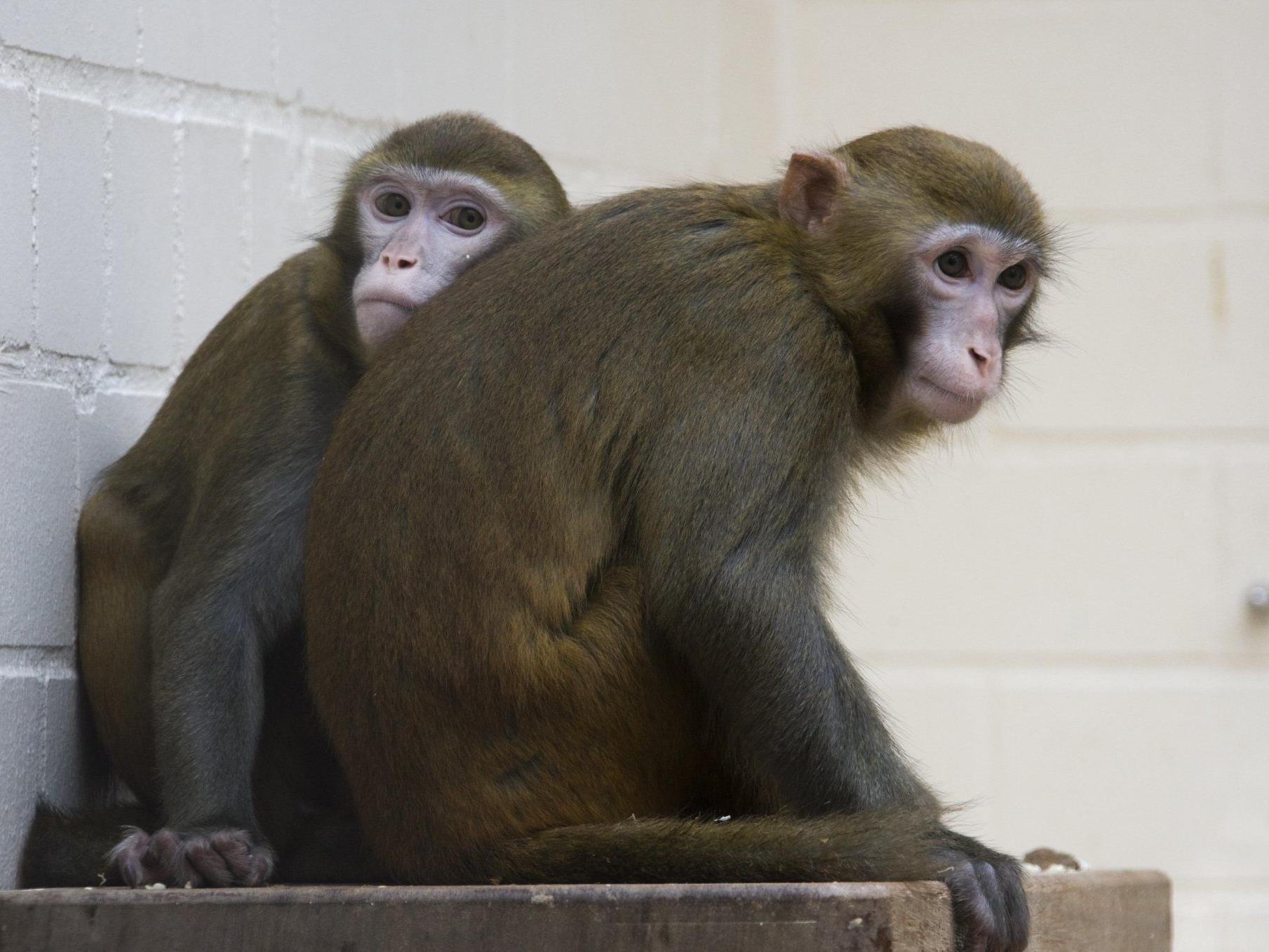 Forscher untersuchten das Schmatzen von Makaken - Rückschlüsse auf menschliche Sprachentwicklung?
